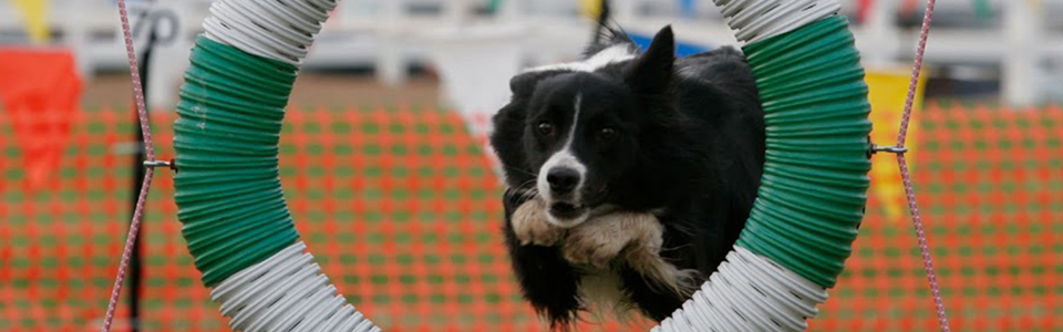 All About Dogs - agility ring jump