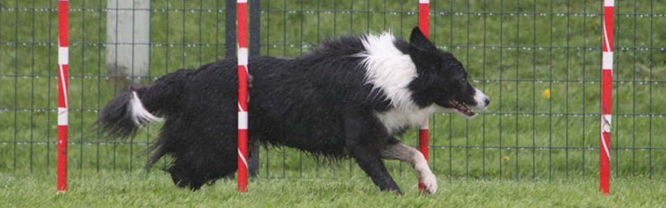 All About Dogs - agility weave poles